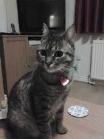 Lost Tabby Cat in Hyde