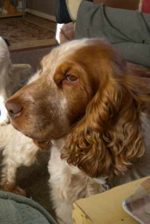 Missing Spaniel Dogs in Beccles