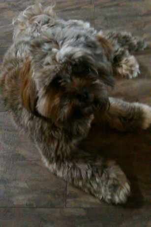 Missing Lhasa Apso Dogs in Blackpool