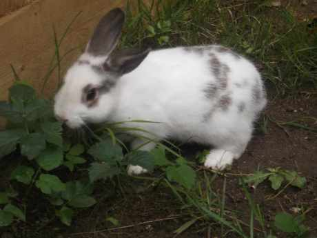 Missing British Giant Rabbits in Ipswich