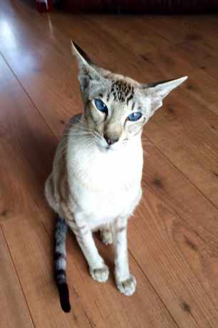 Missing Siamese Cat in Burgess Hill
