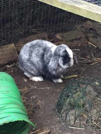 Missing Lop Eared Rabbit in Haywards Heath
