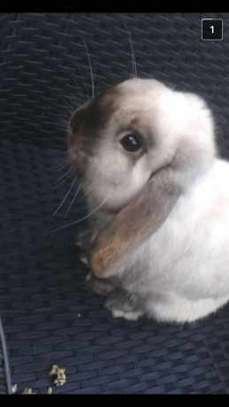 Missing Lop Eared Rabbit in Sutton Coldfield