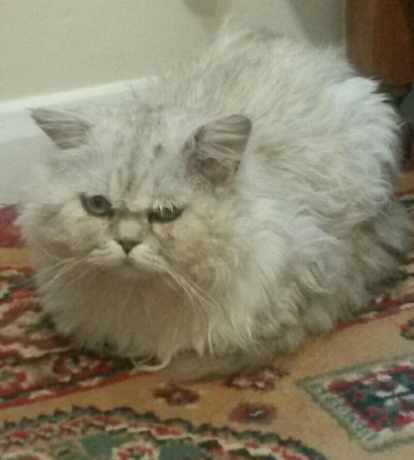 Missing Persian Cat in Upton Park