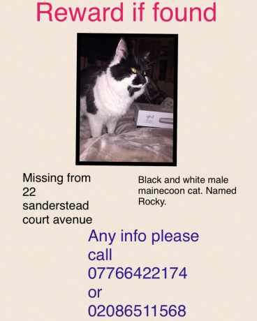 Missing Maine Coon Cats in Croydon