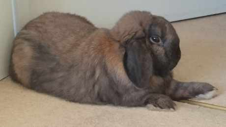 Missing Lop Eared Rabbit in Eastbourne