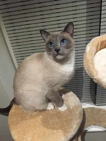 Missing Siamese Cat in Walsall