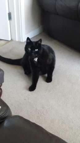 Missing Domestic Short Hair Cats in Bishop Auckland