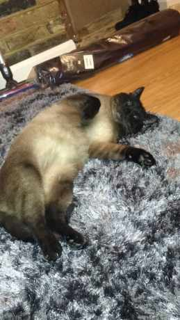 Missing Siamese Cat in Rochester