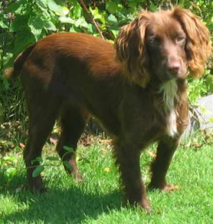 Missing Spaniel Dogs in Harrietsham