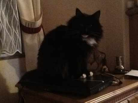 Missing Norwegian Forest Cats in Fordingbridge