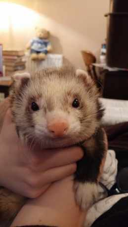 Missing Unknown - Other Ferrets in Halberton