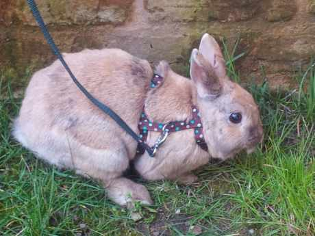 Missing Unknown - Other Rabbits in Gresford