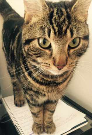 Lost Tabby Cat in Warrington