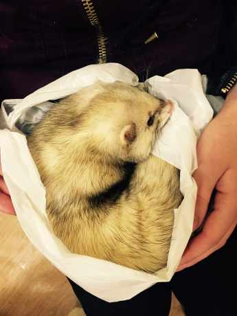 Missing Unknown - Other Ferrets in Rowley Regis