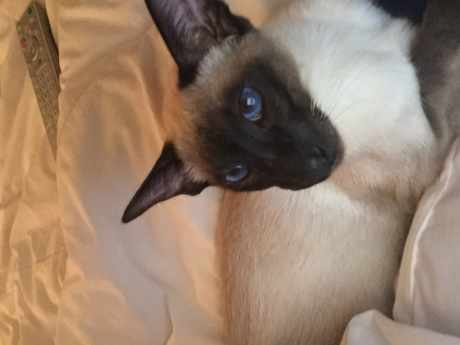 Missing Siamese Cat in Belmont Cheam