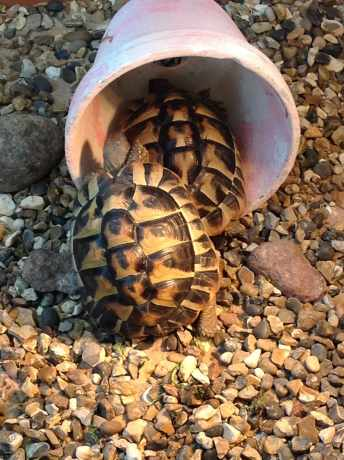 Missing Tortoise Exotic in Beaconsfield