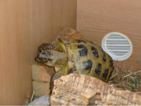 Missing Tortoise Exotic in Woodford Green