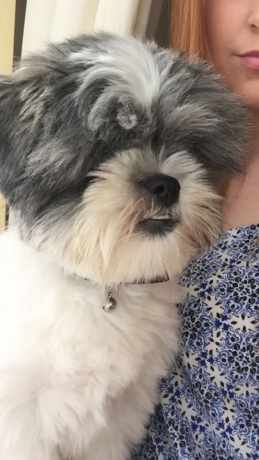 Lost Dog Shih Tzu From Llantwit Major Mid Glamorgan
