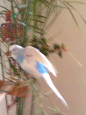 Missing Budgie Birds in East Lanondon