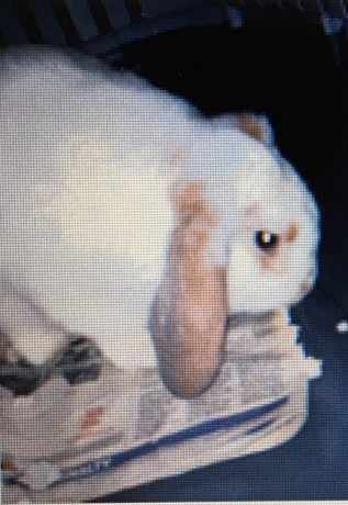 Missing Unknown - Other Rabbits in Wythenshawe