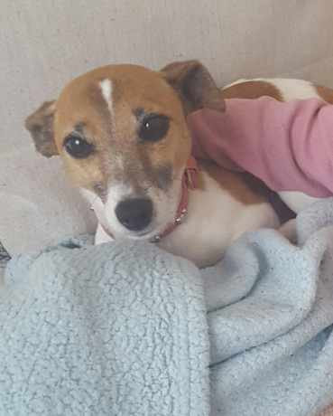 Missing Jack Russell Dogs in Hastings
