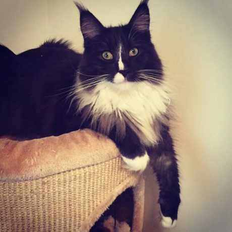 Missing Maine Coon Cats in Sheffield