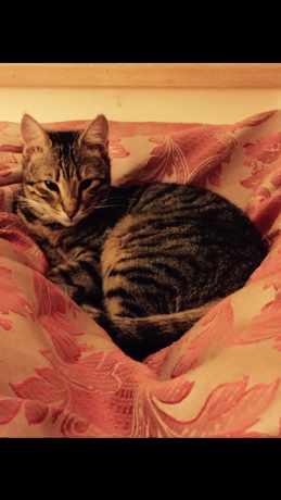 Missing Tabby Cats in Dudleston Heath- Ellesmere