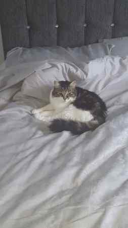Missing Tabby Cat in Widnes