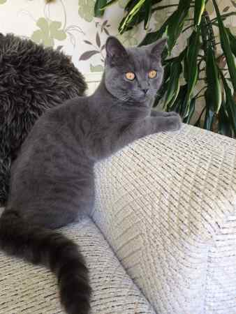 Missing British Blue Cats in Leeds