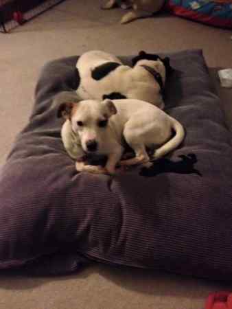 Missing Jack Russell Dogs in Ingatestone