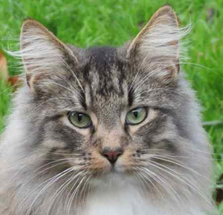 Missing Norwegian Forest Cats in Gazeley, Newmarket