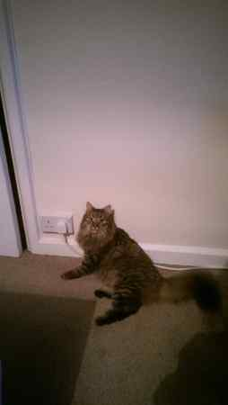 Missing Maine Coon Cats in Bishops Stortford