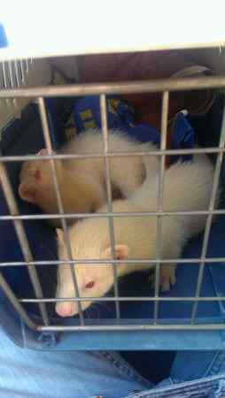 Missing Unknown - Other Ferrets in Hastings