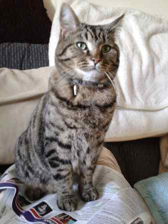Missing Tabby Cat in Cheddington