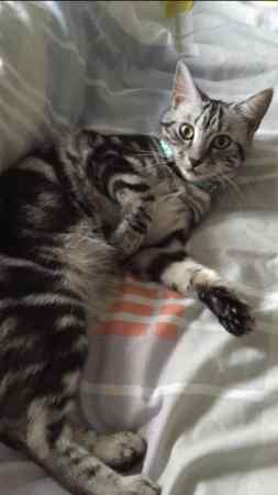 Missing Domestic Short Hair Cat in Sale