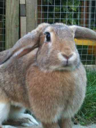 Missing Lop Eared Rabbit in Rayleigh