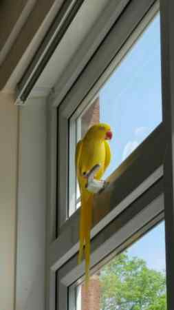 Missing Parrot, Parakeet Birds in Blackburn