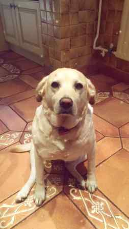 Missing Labrador Dogs in Newton-Le-Willows