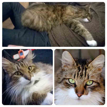 Lost Cat Mixed Breed from Doncaster South Yorkshire