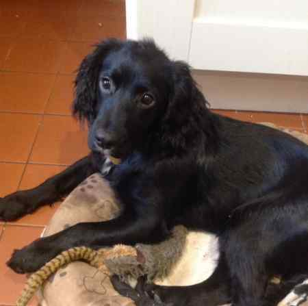 Missing Spaniel Dogs in Arley