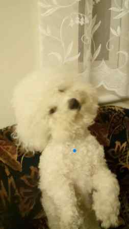 Missing Bichon Frise Dogs in Peterborough