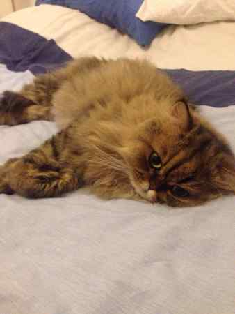 Missing Persian Cat in Chingford