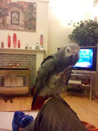 Missing Parrot, Parakeet Birds in Upper Norwood