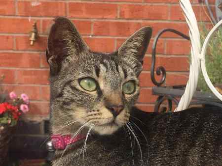 Missing Tabby Cats in Evesham