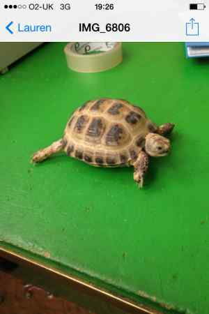 Missing Tortoise Exotic in Yeading