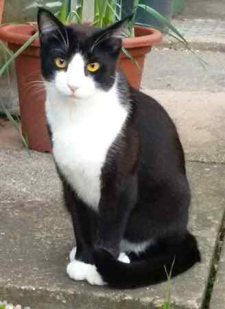 Lost Domestic Short Hair Cat in Loughborough
