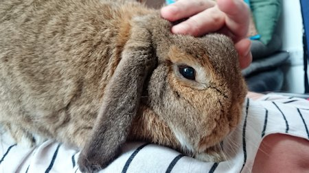 Missing Lop Eared Rabbit in Lewes