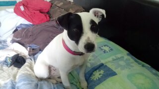 Missing Jack Russell Dog in York/selby