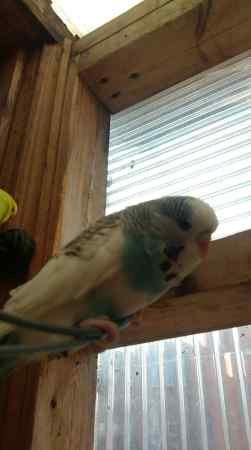 Missing Budgie Birds in Chadwell Heath London